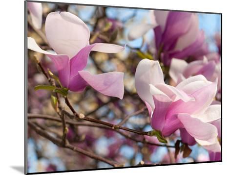 Close Up of Tulip Magnolia Flowers, Magnolia Liliflora, in Springtime-Darlyne A^ Murawski-Mounted Photographic Print