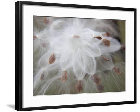 Milkweed Seeds Leaving their Pod-Michael Melford-Framed Art Print