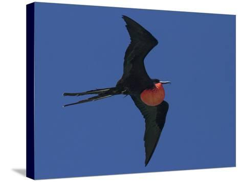 A Male Frigatebird Expands its Gular Pouch to Attract a Mate-Michael Melford-Stretched Canvas Print