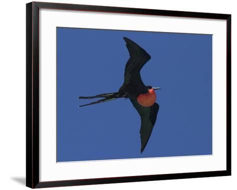 A Male Frigatebird Expands its Gular Pouch to Attract a Mate-Michael Melford-Framed Art Print