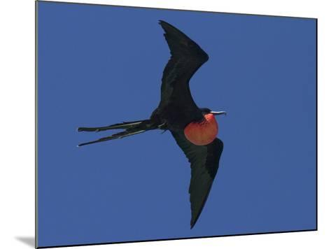 A Male Frigatebird Expands its Gular Pouch to Attract a Mate-Michael Melford-Mounted Photographic Print