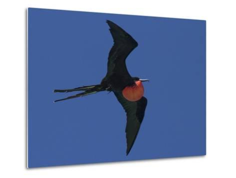 A Male Frigatebird Expands its Gular Pouch to Attract a Mate-Michael Melford-Metal Print