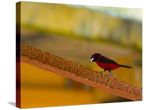 A Male Crimson-Backed Tanager Lights Upon the Ship-Michael Melford-Stretched Canvas Print