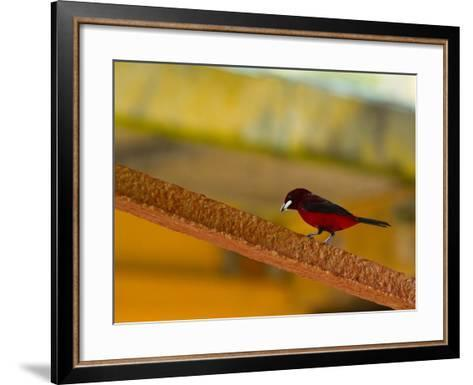 A Male Crimson-Backed Tanager Lights Upon the Ship-Michael Melford-Framed Art Print