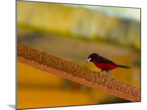 A Male Crimson-Backed Tanager Lights Upon the Ship-Michael Melford-Mounted Photographic Print