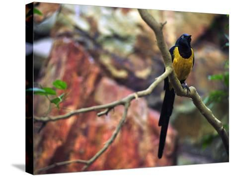 Golden-Breasted Starling, Cosmopsarus Regius, Perched on a Tree Branch-Raul Touzon-Stretched Canvas Print