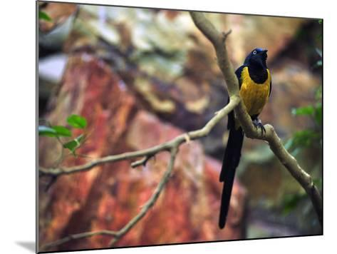 Golden-Breasted Starling, Cosmopsarus Regius, Perched on a Tree Branch-Raul Touzon-Mounted Photographic Print