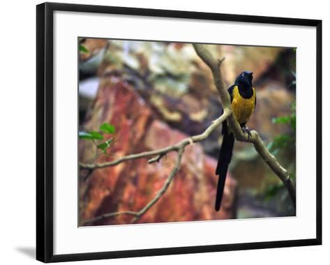Golden-Breasted Starling, Cosmopsarus Regius, Perched on a Tree Branch-Raul Touzon-Framed Art Print