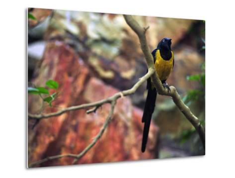 Golden-Breasted Starling, Cosmopsarus Regius, Perched on a Tree Branch-Raul Touzon-Metal Print
