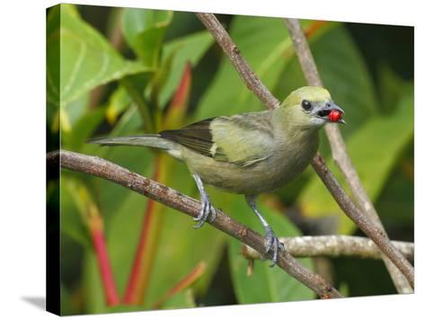 A Palm Tanager, Thraupis Palmarum, with a Berry in it's Mouth-George Grall-Stretched Canvas Print
