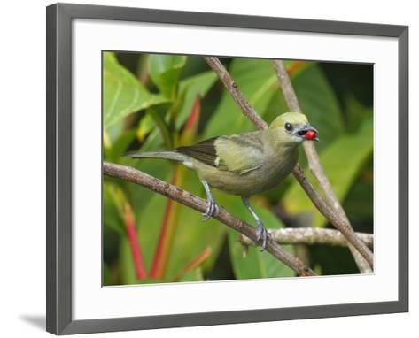 A Palm Tanager, Thraupis Palmarum, with a Berry in it's Mouth-George Grall-Framed Art Print