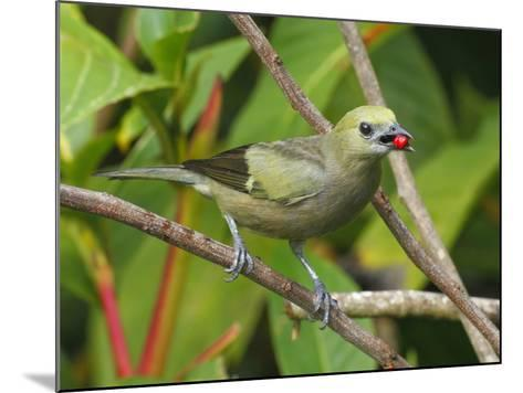 A Palm Tanager, Thraupis Palmarum, with a Berry in it's Mouth-George Grall-Mounted Photographic Print