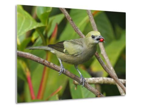 A Palm Tanager, Thraupis Palmarum, with a Berry in it's Mouth-George Grall-Metal Print
