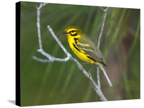 A Male Prairie Warbler, Dendroica Discolor, Perched on a Tree Limb-George Grall-Stretched Canvas Print