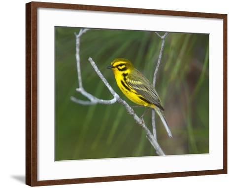 A Male Prairie Warbler, Dendroica Discolor, Perched on a Tree Limb-George Grall-Framed Art Print
