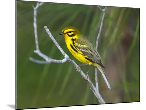 A Male Prairie Warbler, Dendroica Discolor, Perched on a Tree Limb-George Grall-Mounted Photographic Print