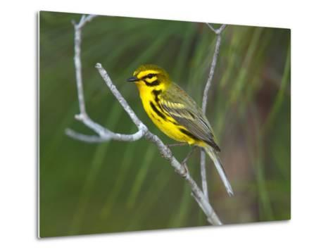 A Male Prairie Warbler, Dendroica Discolor, Perched on a Tree Limb-George Grall-Metal Print