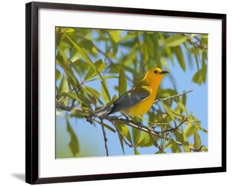 A Male Prothonitary Warbler, Protonitaria Citrea, Perched in a Tree-George Grall-Framed Art Print
