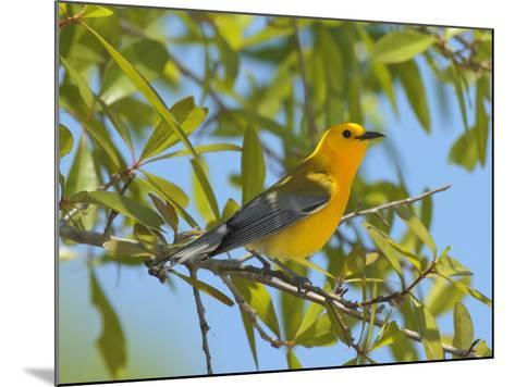 A Male Prothonitary Warbler, Protonitaria Citrea, Perched in a Tree-George Grall-Mounted Photographic Print