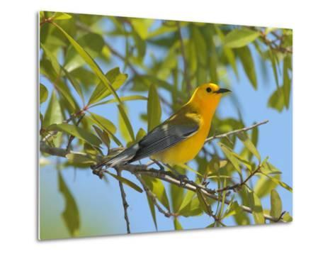 A Male Prothonitary Warbler, Protonitaria Citrea, Perched in a Tree-George Grall-Metal Print