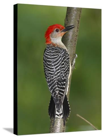 A Red-Bellied Woodpecker, Melanerpes Carolinus, Creeps Up a Sapling-George Grall-Stretched Canvas Print