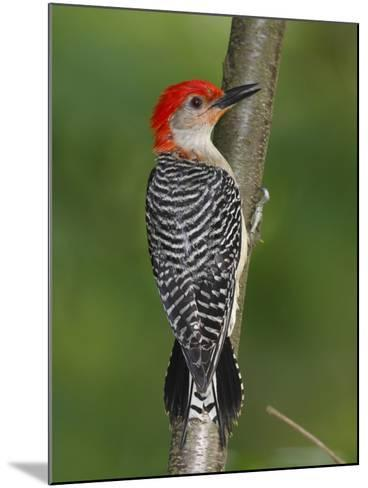 A Red-Bellied Woodpecker, Melanerpes Carolinus, Creeps Up a Sapling-George Grall-Mounted Photographic Print