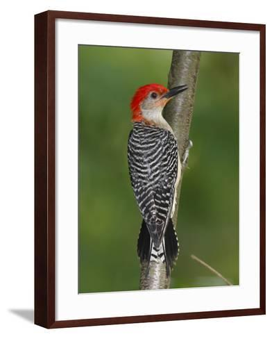 A Red-Bellied Woodpecker, Melanerpes Carolinus, Creeps Up a Sapling-George Grall-Framed Art Print