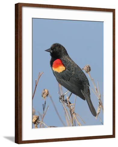 A Male Red-Winged Blackbird, Agelaius Phoeniceus, in Low Vegetation-George Grall-Framed Art Print