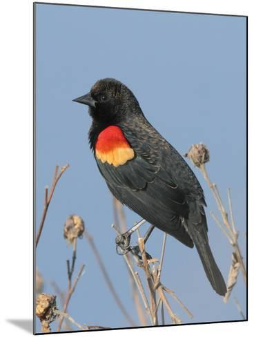 A Male Red-Winged Blackbird, Agelaius Phoeniceus, in Low Vegetation-George Grall-Mounted Photographic Print