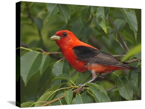 A Male Scarlet Tanager, Piranga Olivacea, Perched in a Choke Cherry Tree-George Grall-Stretched Canvas Print
