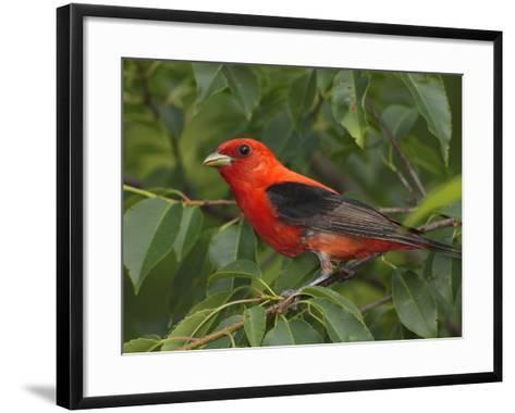 A Male Scarlet Tanager, Piranga Olivacea, Perched in a Choke Cherry Tree-George Grall-Framed Art Print
