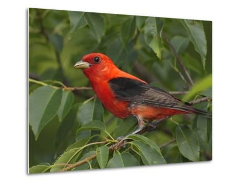 A Male Scarlet Tanager, Piranga Olivacea, Perched in a Choke Cherry Tree-George Grall-Metal Print