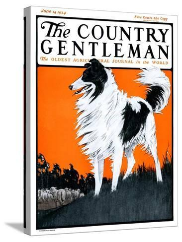"""Sheepdog Oversees Flock,"" Country Gentleman Cover, June 14, 1924-Paul Bransom-Stretched Canvas Print"