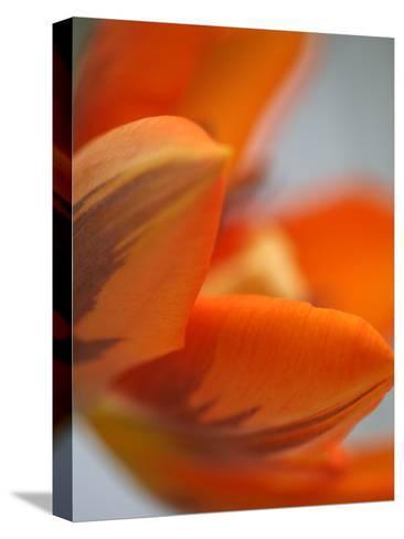 Opened Orange Tulip-Katano Nicole-Stretched Canvas Print