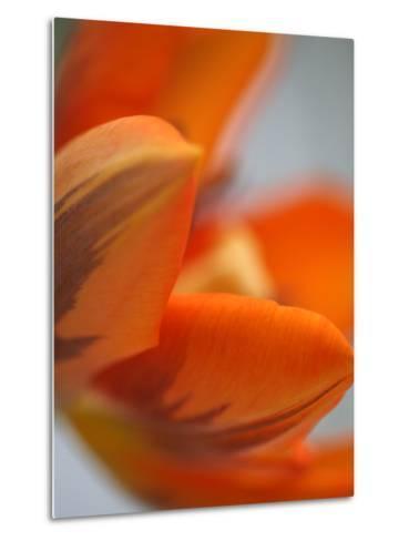 Opened Orange Tulip-Katano Nicole-Metal Print
