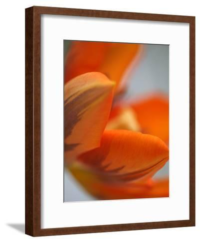 Opened Orange Tulip-Katano Nicole-Framed Art Print
