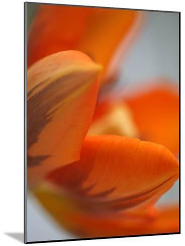 Opened Orange Tulip-Katano Nicole-Mounted Photo