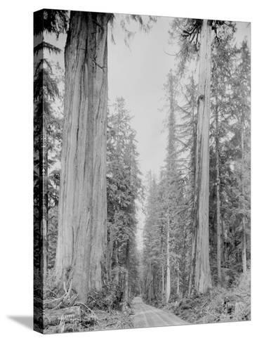 Cedar Trees, Clearwater, WA, 1936-Ashael Curtis-Stretched Canvas Print