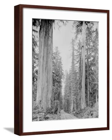 Cedar Trees, Clearwater, WA, 1936-Ashael Curtis-Framed Art Print