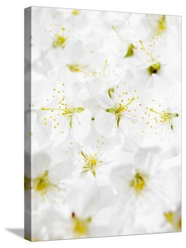 Cherry Blossom-Barbara Lutterbeck-Stretched Canvas Print