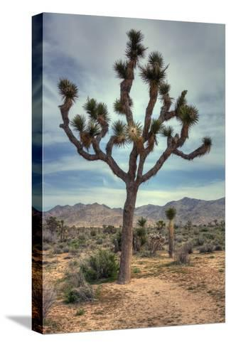 Joshua Tree Scene-Vincent James-Stretched Canvas Print