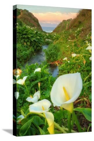 Scene of the Cala Lillies-Vincent James-Stretched Canvas Print