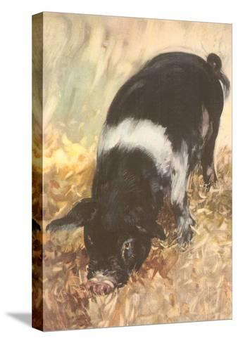 Young Chester White Pig--Stretched Canvas Print