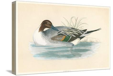 Pintail Duck--Stretched Canvas Print