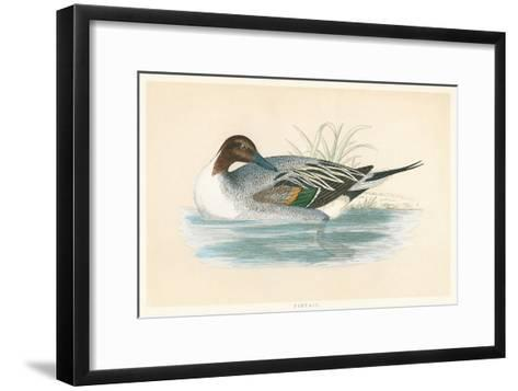 Pintail Duck--Framed Art Print