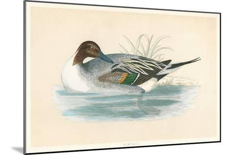 Pintail Duck--Mounted Art Print