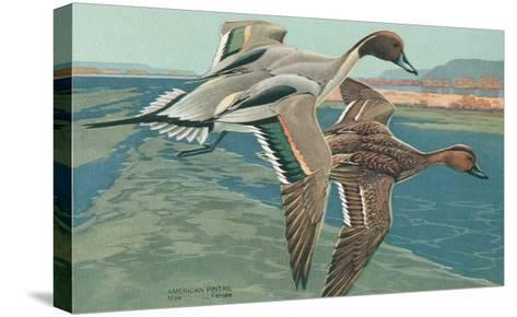 American Pintail Ducks--Stretched Canvas Print