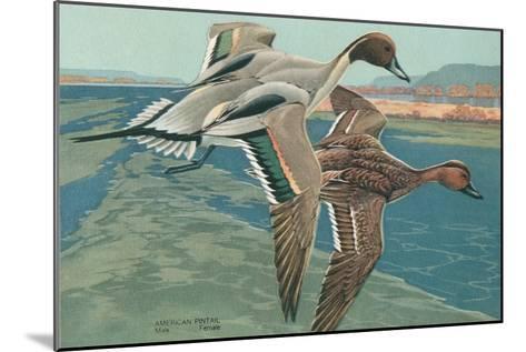 American Pintail Ducks--Mounted Art Print