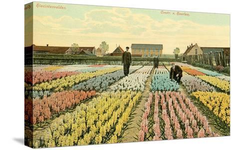Hyacinth Garden, Haarlem, Holland--Stretched Canvas Print