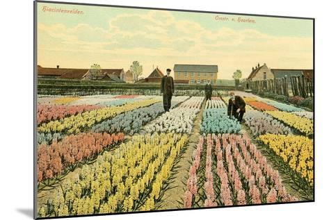 Hyacinth Garden, Haarlem, Holland--Mounted Art Print